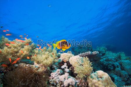 anemone, fish, ii - 527040