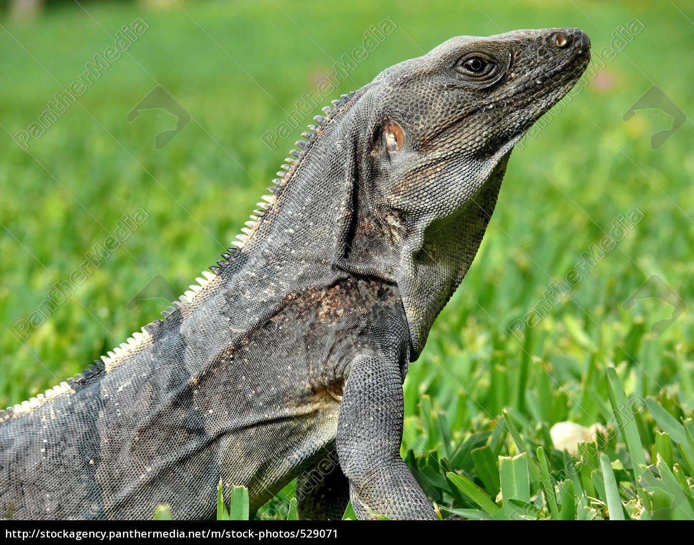 dragons - 529071