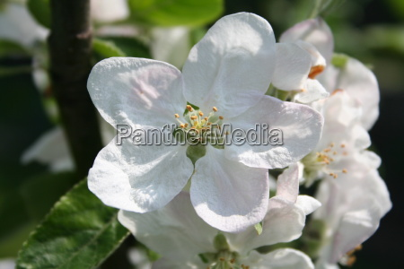 apple, blossom - 533308