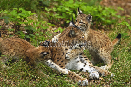 young, lynx, playing, with, mother - 534176