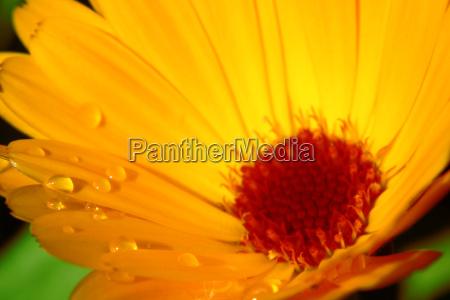 dewdrops on marigold