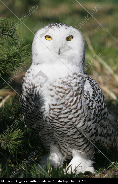 snow, owl - 538273