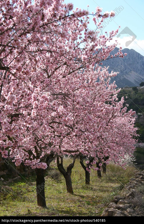 almond, grove - 540185