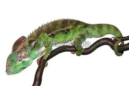 chameleon - 541596