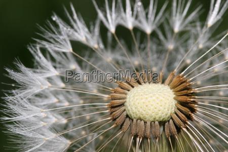 dandelion, macro, shot - 541425