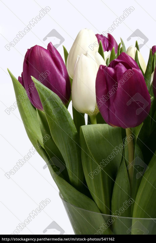 tulips, purple, and, white - 541162