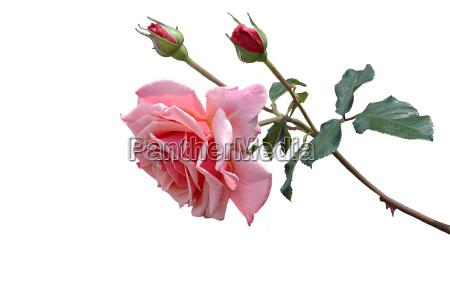 rose - 542381