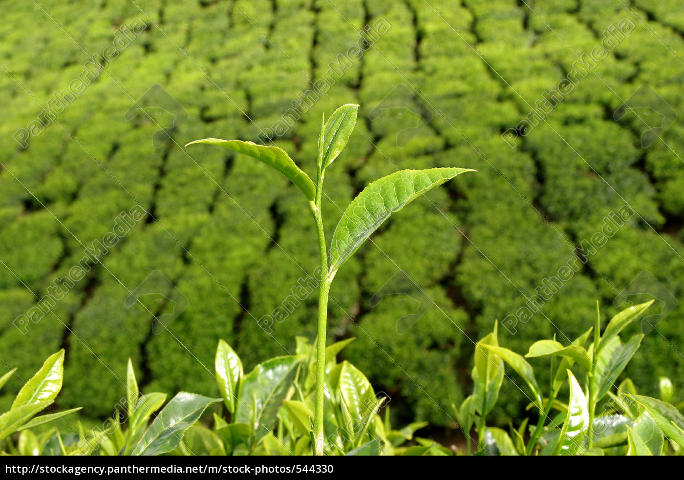 tea, bushes, before, tea, plantation - 544330