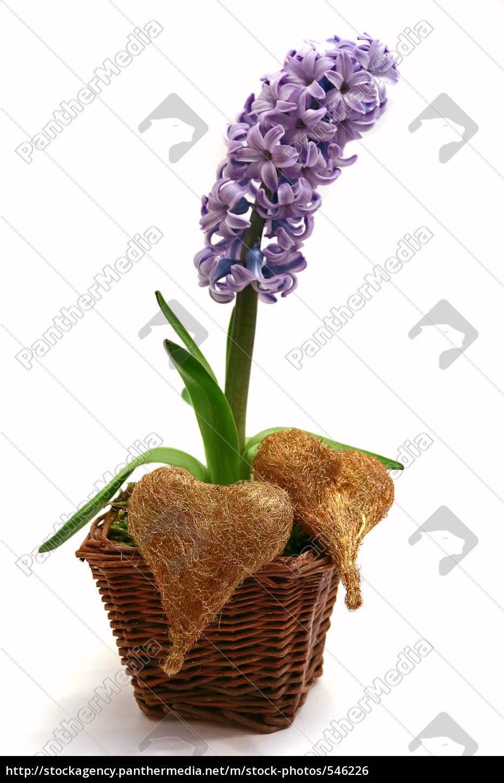hyacinth - 546226