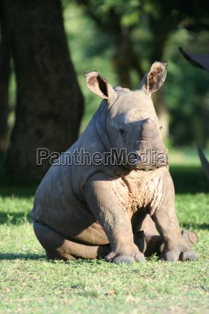 sitting, baby, rhino - 548700
