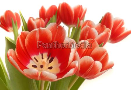 tulips, in, vase - 548341