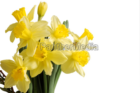 daffodils, bouquet, isolated, on, white - 549367