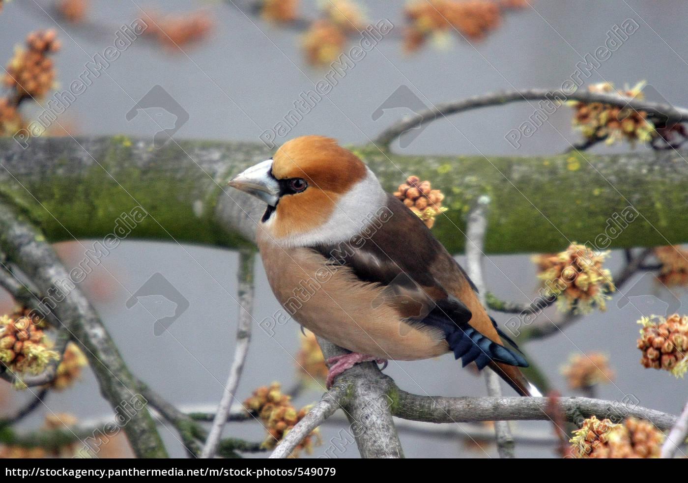 hawfinch - 549079