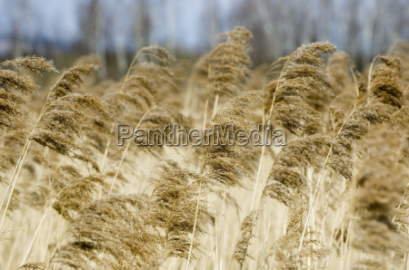reed - 549672