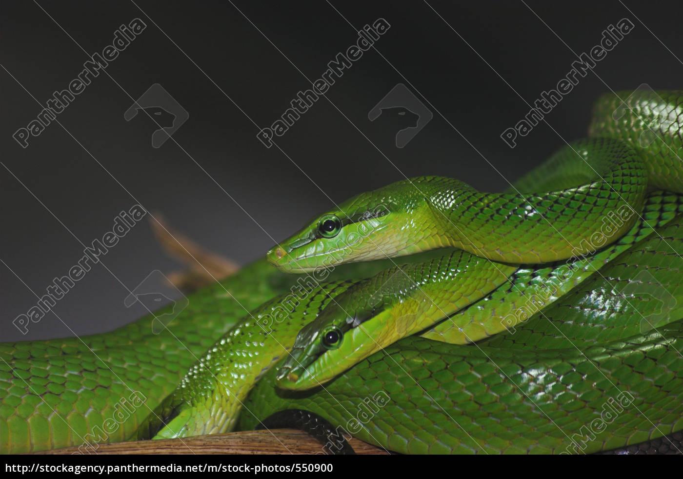 2, green, mamba - 550900