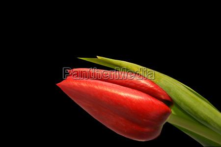 red, tulip, 2 - 550806