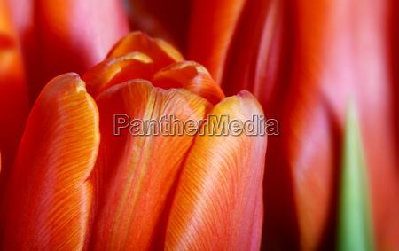 tulips, 2 - 552477