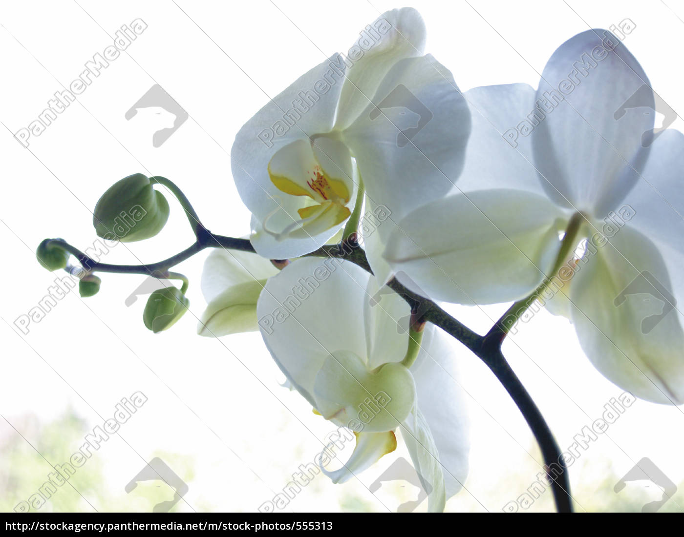 orchid - 555313
