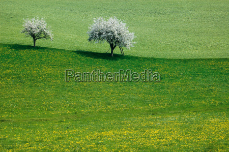 spring, and, cherry, trees - 555114