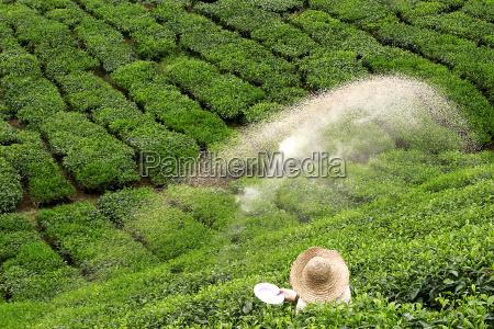 bauer, sprinkled, fertilizer, on, green, tea - 560916