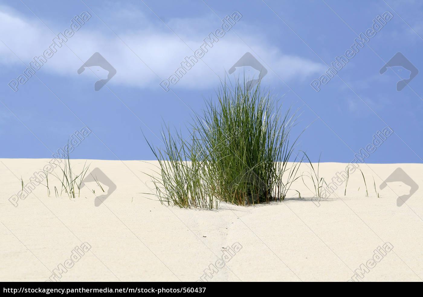 dune, grass, on, the, dune - 560437
