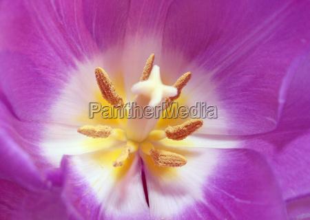 tulpenblüte - 563244