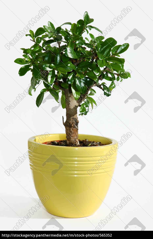 bonsai - 565352