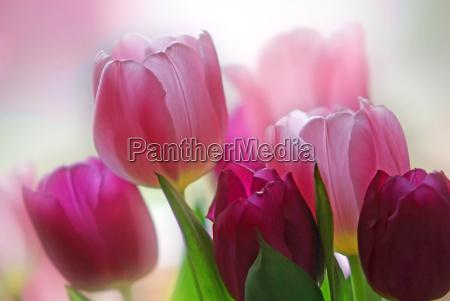 tulipa - 565182