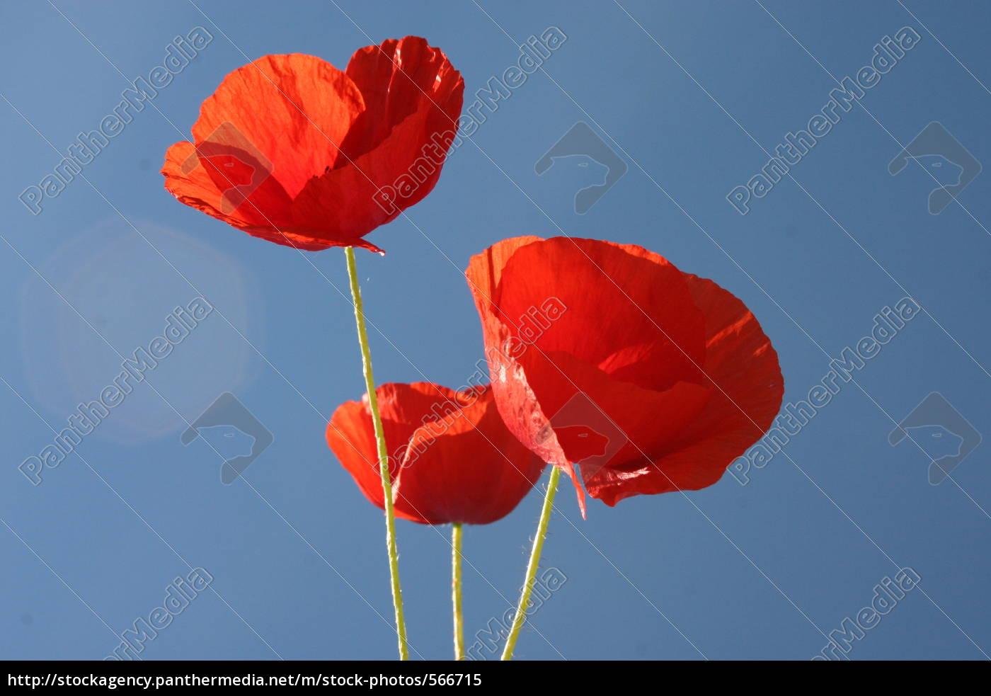 poppies, sky - 566715