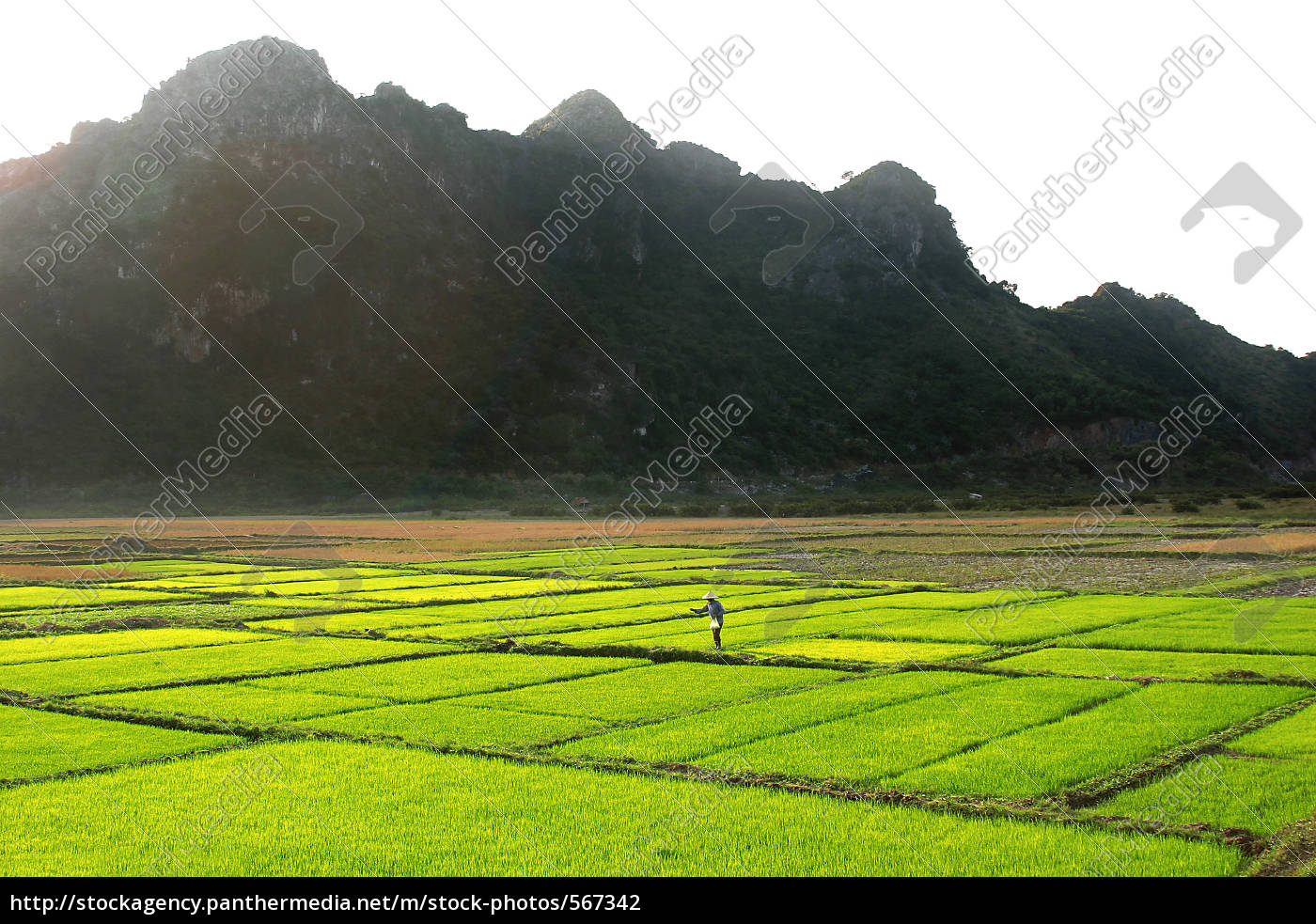 woman, on, green, rice, field, in - 567342