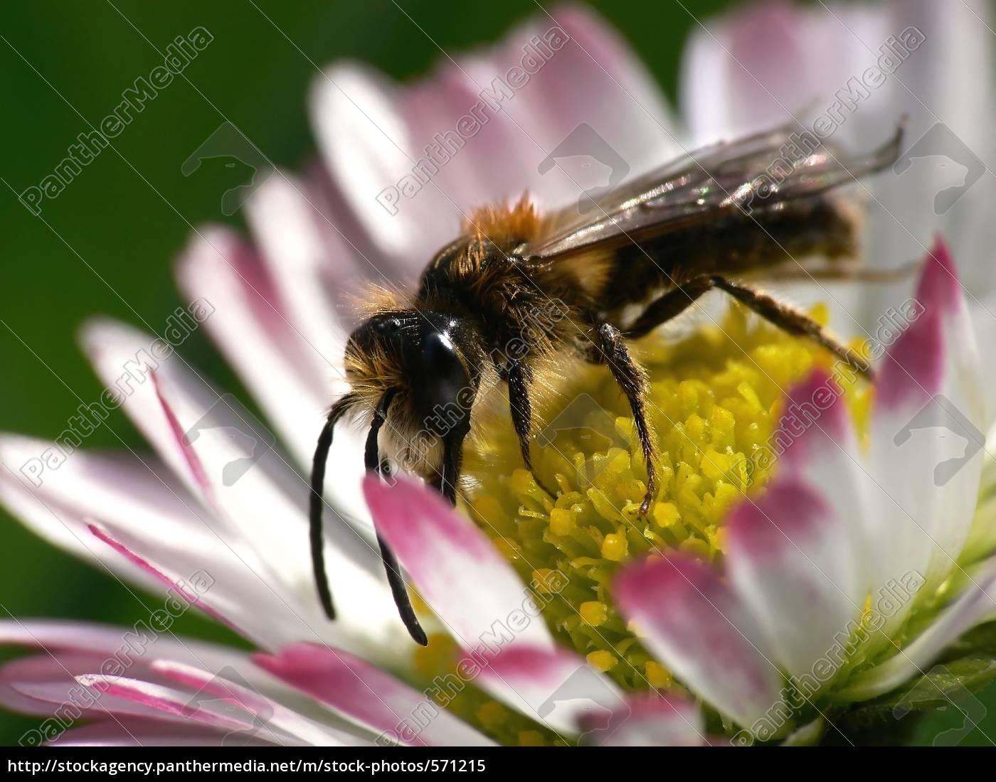 wild, bee - 571215