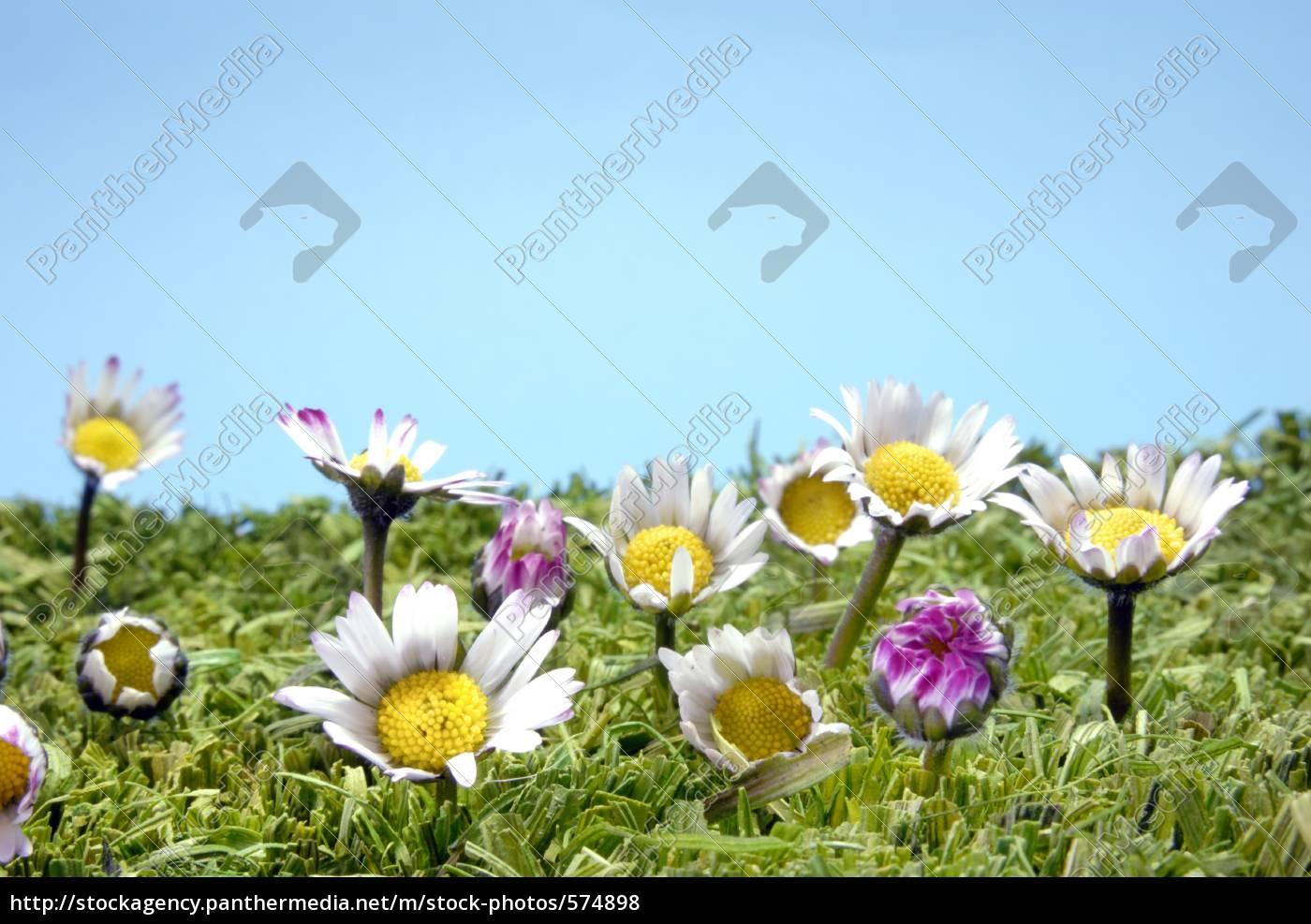 daisy - 574898