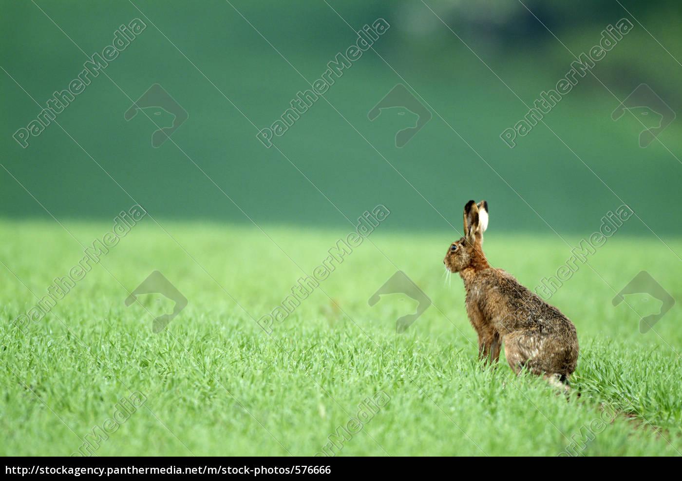 hare - 576666