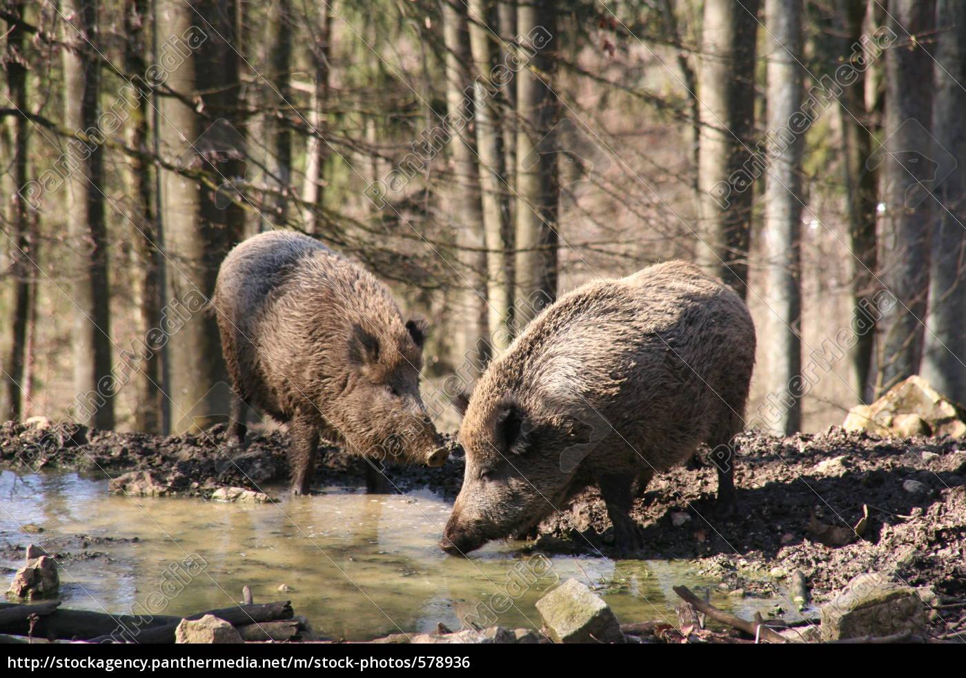 boars - 578936