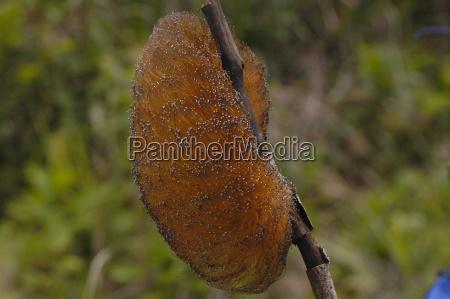 poisonous caterpillar in southern venezuela