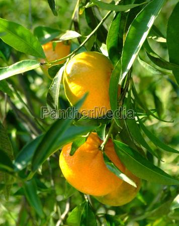mandarin, 2 - 579212