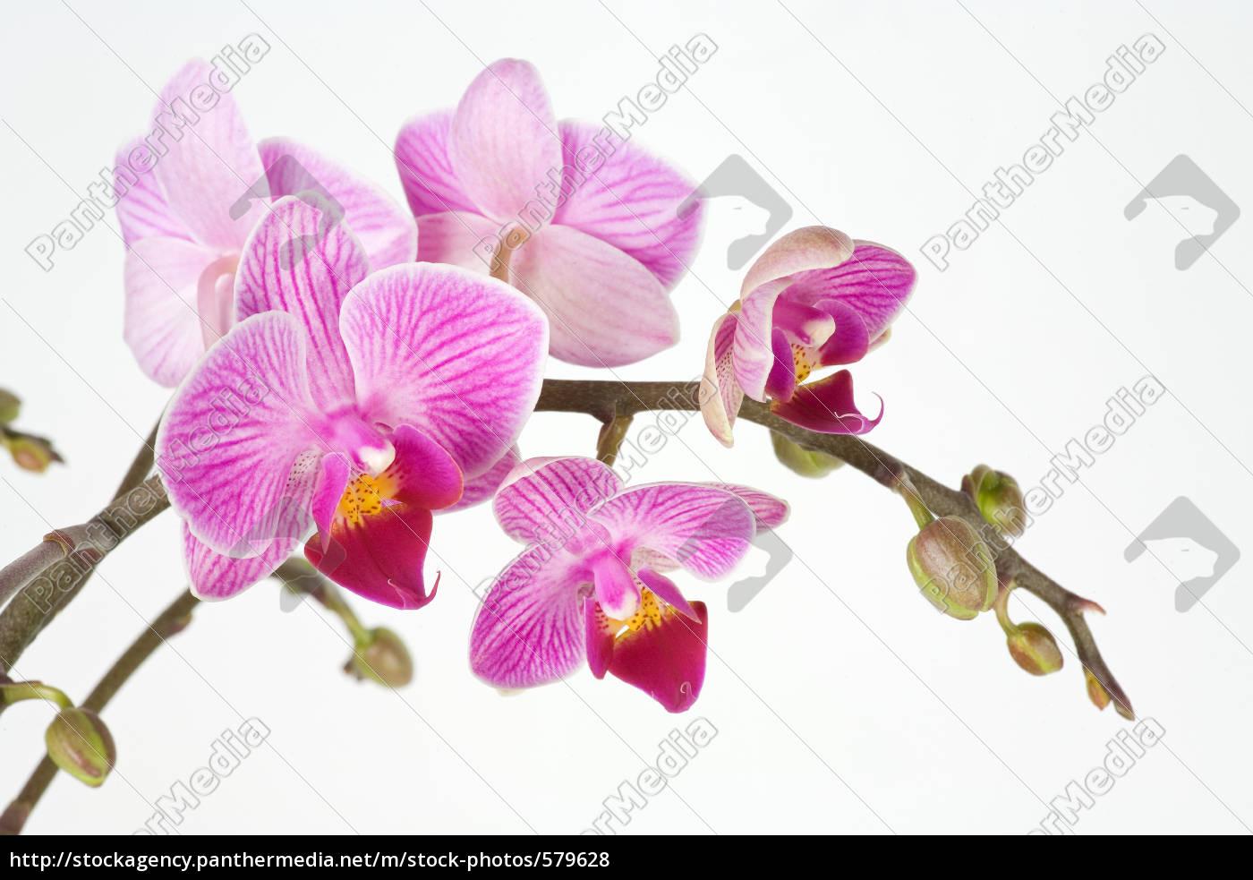 orchidee, vor, weißem, grund - 579628