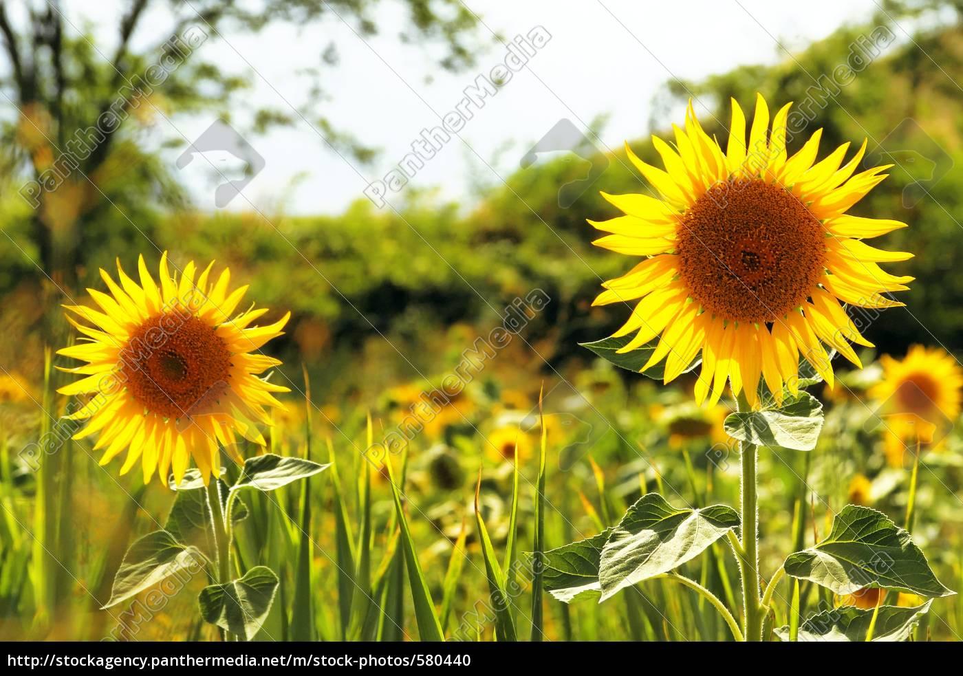 sunflowers - 580440