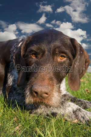 german, wirehaired, pointer - 581862