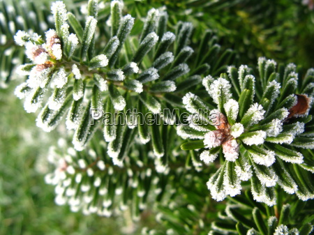 invierno frio maduro escarcha hojas perennes
