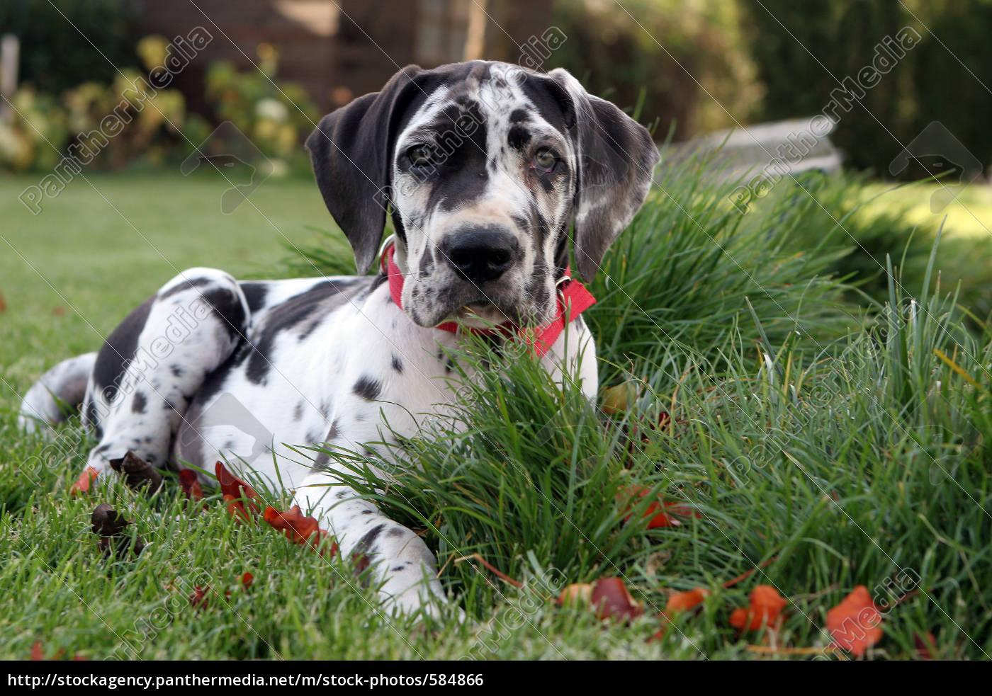 bulldog, puppy - 584866