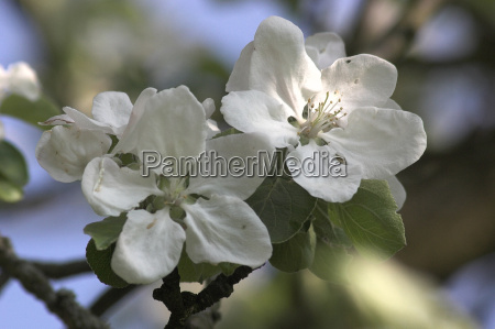 apple, blossom - 585281