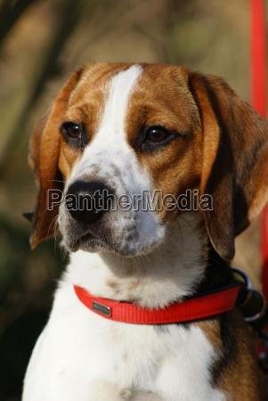 beagle on canvas