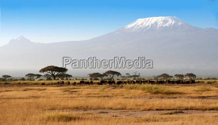 buffalo vorm kilimanjaro