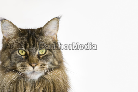 maine, coon, cat - 590235