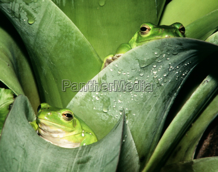 frogs - 592773