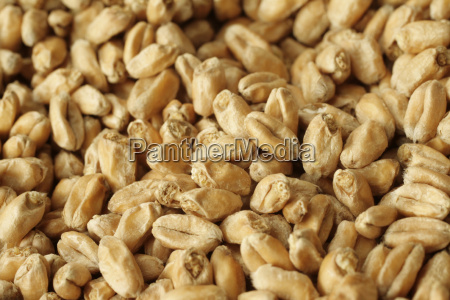wheat - 595207