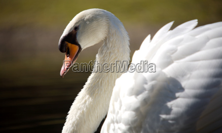 the, swan - 597420