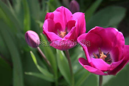 tulips, in, the, light - 609205