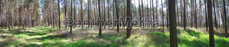 pine, forest, panorama - 612783